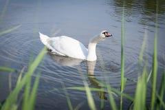 Белый лебедь на пруде Стоковое Изображение RF