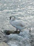 Белый лебедь на пляже Стоковая Фотография RF