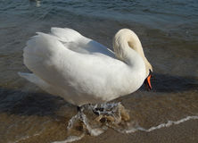 Белый лебедь на пляже Стоковая Фотография