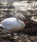 Белый лебедь на Berwick на одежде из твида, Нортумберленде Великобритании Стоковые Изображения RF