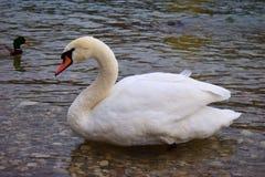 Белый лебедь около речного берега Стоковые Изображения RF