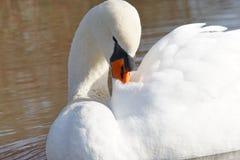 Белый лебедь очищая его пер Стоковое Изображение RF
