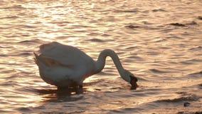 Белый лебедь подавая в береге воды близко акции видеоматериалы
