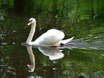 Белый лебедь представляя для портрета Стоковое Изображение