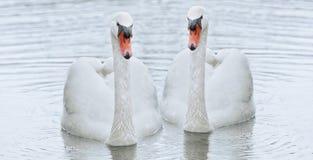 Белый лебедь плавает в воду Стоковое фото RF