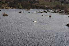 Белый лебедь плавает на старый пруд Стоковые Изображения RF