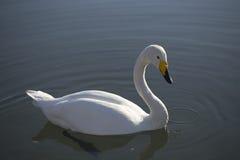 Белый лебедь плавая на озеро Стоковые Фотографии RF