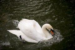 Белый лебедь, плавая Стоковые Изображения