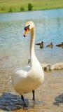 Белый лебедь стоя в реке Стоковые Фото