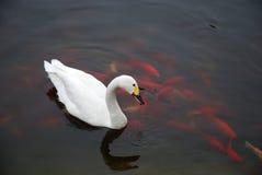 Белый лебедь с рыбами Стоковая Фотография RF