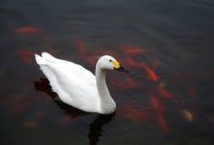 Белый лебедь с рыбами Стоковое Фото