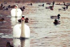 Белый лебедь #2 Стоковое Изображение