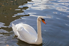 Белый лебедь Стоковая Фотография