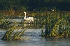 Белый лебедь Стоковые Фотографии RF