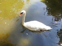 Белый лебедь стоковая фотография rf