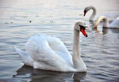 Белый лебедь Стоковое фото RF
