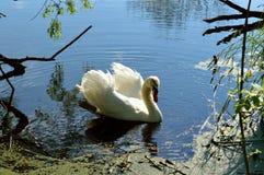 Белый лебедь Стоковые Изображения
