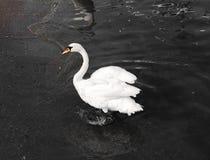 Белый лебедь Стоковое Изображение