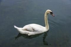 Белый лебедь (olor Cygnus) в пруде Стоковое Изображение RF