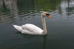 Белый лебедь (olor Cygnus) в пруде Стоковые Изображения