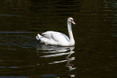 Белый лебедя плавает на воду и отражают Стоковое Изображение