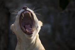 Белый лев Стоковая Фотография
