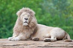 Белый лев Стоковые Изображения RF