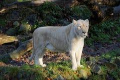 Белый лев Стоковое Изображение