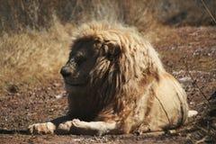 Белый лев Стоковое Фото