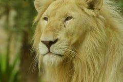 Белый лев Стоковое фото RF