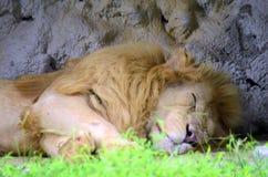 Белый лев Стоковое Изображение RF