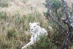 Белый лев стоковые изображения