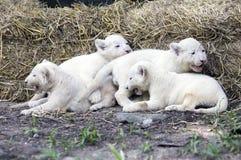 Белый лев Cubs Стоковые Изображения RF