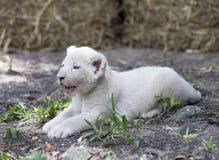 Белый лев Cubs Стоковое фото RF