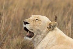Белый лев & x28; Female& x29; Пантера leo стоковое фото rf