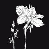Белый декоративный цветок радужки плана Стоковое Изображение RF