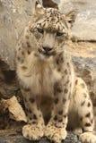 Белый леопард Стоковая Фотография RF
