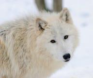 Белый ледовитый волк в лесе зимы Стоковое Изображение