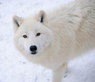 Белый ледовитый волк в лесе зимы Стоковые Изображения