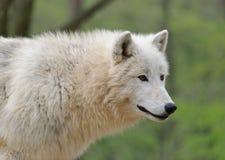 Белый ледовитый конец волка вверх по портрету Стоковые Изображения