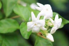 Белый жасмин в красивом открытом саде Стоковые Фотографии RF