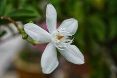 Белый жасмин Стоковое Фото