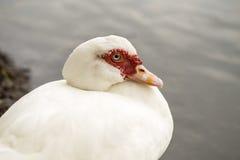 Белый женский цыпленок Стоковые Фото