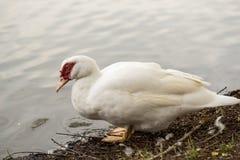 Белый женский цыпленок Стоковая Фотография