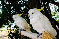 Белый & желтый попугай Стоковое Фото