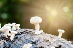 Белый журнал гриба Стоковые Фотографии RF