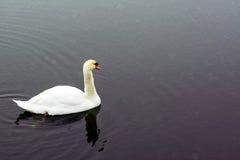 Белый заплыв лебедя на озере в парке города Гордая и красивая птица Темная вода в предыдущей весне тонизировано Стоковое Фото