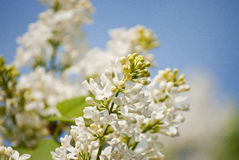 Белый зацветать сиреней Стоковая Фотография