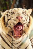 Белый зевок тигра Стоковая Фотография