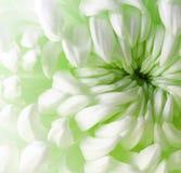Белый зеленый цветок хризантемы closeup Макрос Стоковые Фото